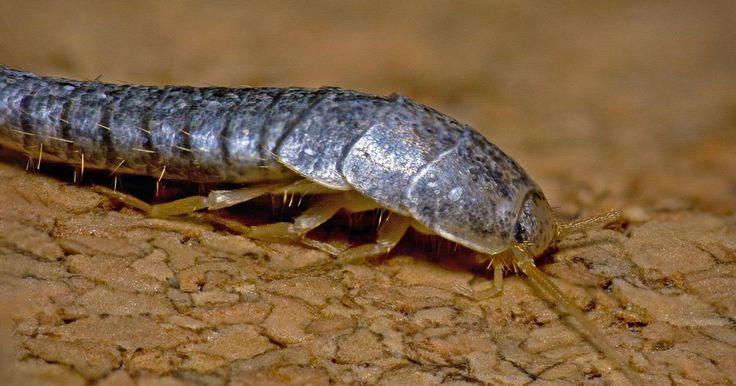 Come sbarazzarci dei vermi della polvere (o pesciolini d'argento) in maniera naturale e senza inondare casa di agenti tossici? Ecco 6 rimedi naturali
