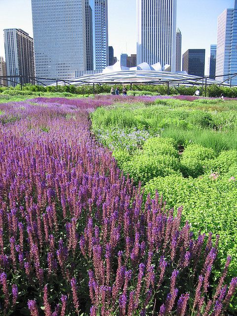 salvia at the lurie garden in chicago.  designed by Piet Oudolf.