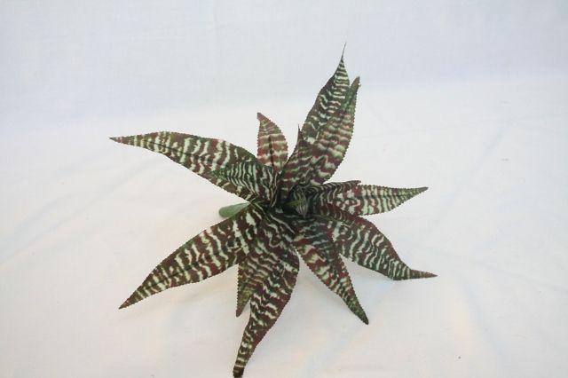 9 inch NT Zebra Cryptanthus Plant (w) - Satsuma Enterprise