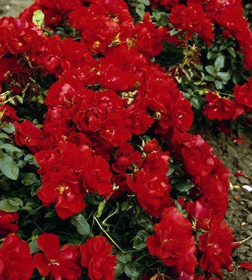 Maankateruusu Centro Rose