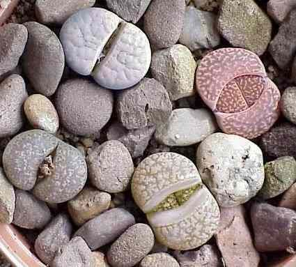 Livingstone Plant Lithops | This site is no longer maintained and has been left for archival ...