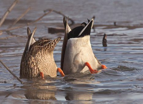 Care and Feeding of Ducks | what do ducks eat when they aren't fed by people with bread?