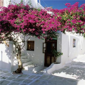 http://dwellerswithoutdecorators.blogspot.com/2011/08/love-affair-with-bougainvillea.html