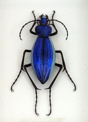Blue glass beetle by Emanuel Toffolo. Click through for more glass beetles! They're all gorgeous.