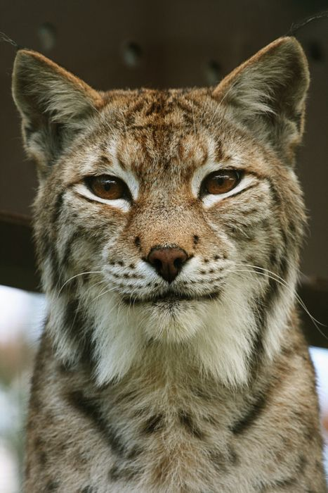The Eurasian lynx is a medium-sized cat native to European and Siberian forests, South Asia and East Asia.