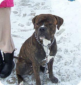 Caledon, ON - Boxer/Mastiff Mix. Meet Buddy, a dog for adoption. http://www.adoptapet.com/pet/12408704-caledon-ontario-boxer-mix