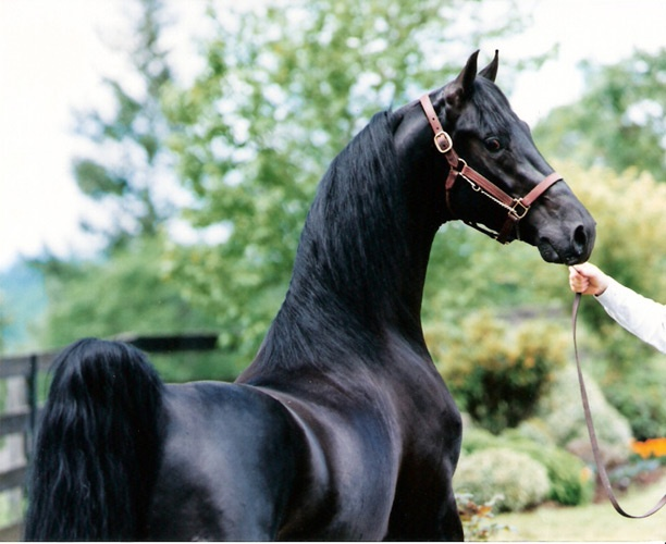Quiver - American Saddlebred stallion