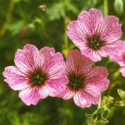 Geranium's hebben vaak mooi geaderde bloemen - foto vaste plantenkwekerij Jo Bogaerts