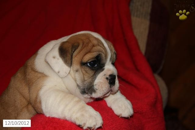 - Beabull Puppy for Sale in BUFFALO, WV - Beabull - Puppy for Sale ...