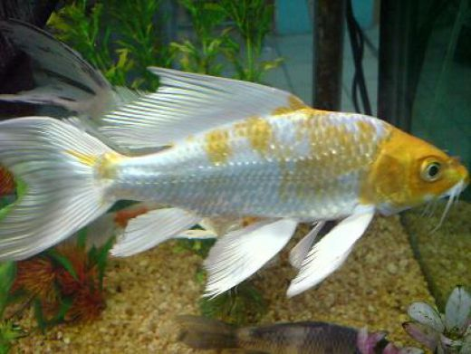 "This is my butterfly Koi a 5"" long sometimes they called it mariposa koi. I find it very beautifull because of the strong color of yellow on her head. I think it's belong to HIkari muji koi. Breeding koi is so much fun specially if you have a lot of..."