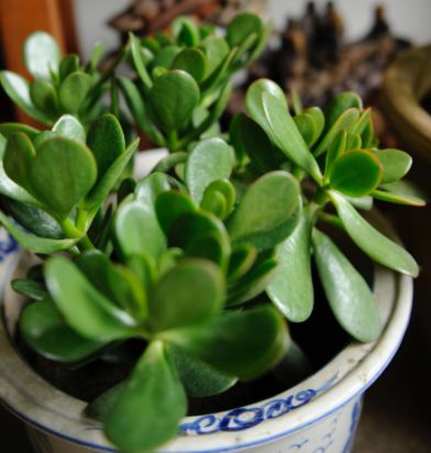 The Jade Plan attracts money and prosperity. Place near the front door in a large pot. Don't allow it to grow larger than 3 feet. This is a plant of the succulent cactus family so do not over water.