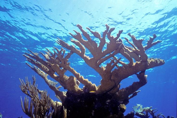 Elkhorn coral - have also had Elkhorns in my salt tanks..... hard coral....nice..