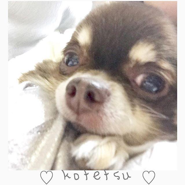 ・ 愛犬♡♡♡love ・ 今はペット禁止なので実家に帰ってるから たまに会えると狂ったように喜んでくれるのが嬉しい♡ ・ #いつまでも元気でいてほしい #膝の間に顔乗せ #愛犬#チワワ#まろ#ブルータン#love#小鉄#癒し