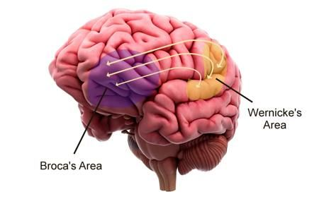 The Broca's area and Wernicke's area are the language processing units of the brain