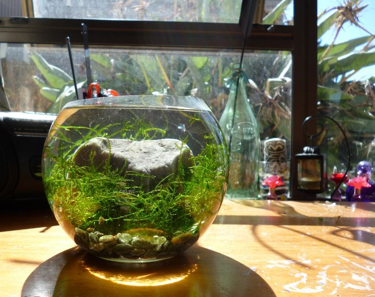 Simple java moss bowl aquascapes pinterest bowls for Water garden fish tank