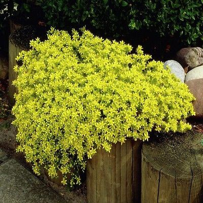 100+ Sedum Golden Carpet Succulent Seeds ,Under The Sun Seeds