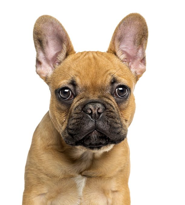 French Bulldog Dog Breed Life span: 10 – 12 years  Temperament: Lively, Playful, Athletic, Alert, Easygoing, Bright, Keen, Patient, Affectionate, Sociable