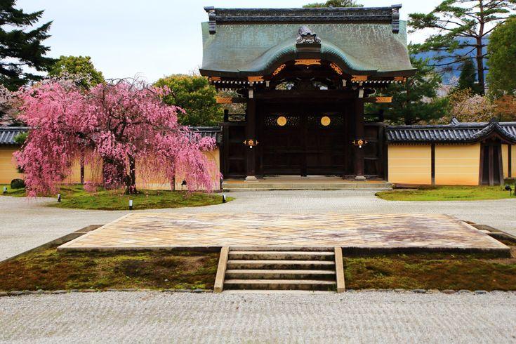 京都大覚寺の勅使門前に咲く華やかな満開の紅しだれ桜