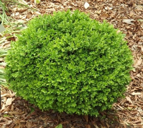 True Dwarf English Boxwood buxus sempervirens suffruticosa The Dwarf English Boxwood is so versatile that it can be combined with virtually any color palette you choose. Often used to highlight featur
