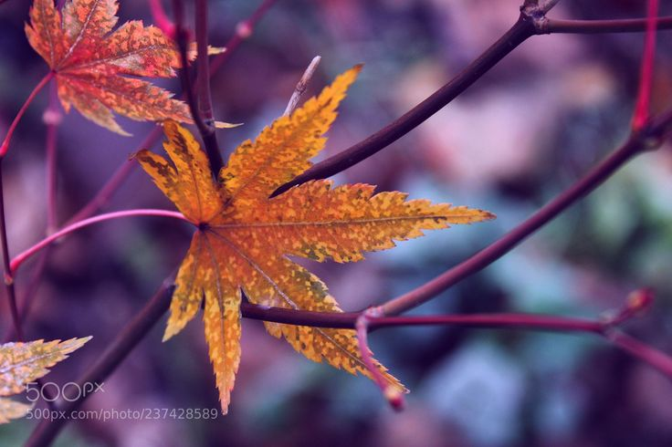 long-lived leaf (Magdalena Habiera / Silesia / Poland) #Canon EOS 1100D #macro #photo #insect #nature
