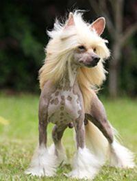 Talita : Cão de Crista Chinês