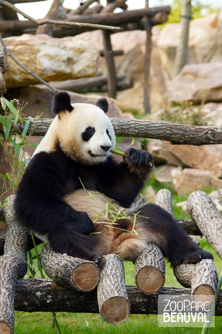 La vie est belle @ZooParc de Beauval (Officiel) ! :-) Yuan Zi notre mâle #panda déguste son bambou... #zoobeauval #panda #valdeloire #destinationbeauval #saintaignan