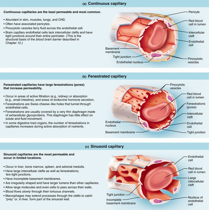 Mejores 8 imágenes de Anatomy & Physiology 1 en Pinterest | Anatomía ...