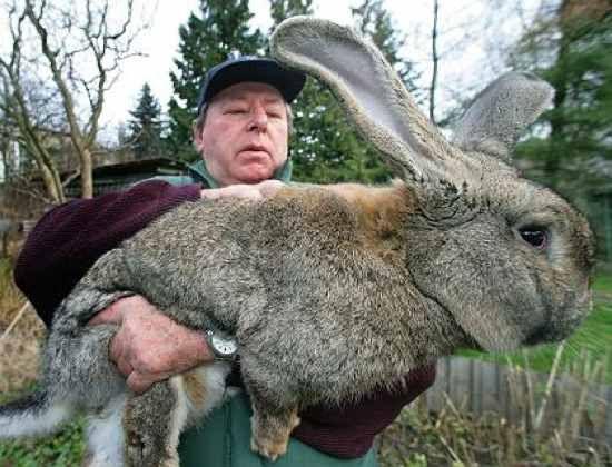 Le problème de lapins dans le kingmaker - les Terres Balafrées (deuxième race de lapin domestique)   lapin géant des flandres