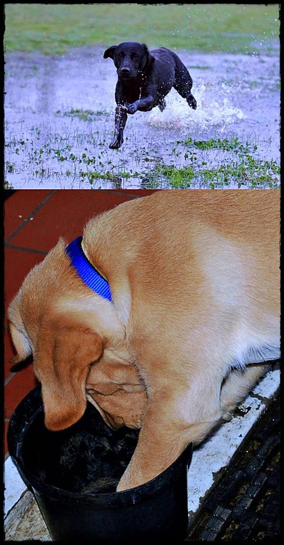 Labrador Puppies West Yorkshire You Want This Labradorpuppieshighlands Labradorfood Labradorexercise Retriever Dog Labrador Retriever Dogs And Puppies