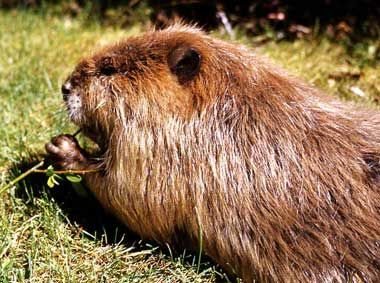 """The nickname for Oregon is The Beaver State, originating in the early 19th century when fur hats were fashionable and Oregon's streams were an important source of beaver pelts. The trapping routes used by early """"mountain men"""" later became known as The Oregon Trail, traveled by thousands of pioneers in the 1840's. The beaver is also Oregon's official state animal and appears on the state flag."""