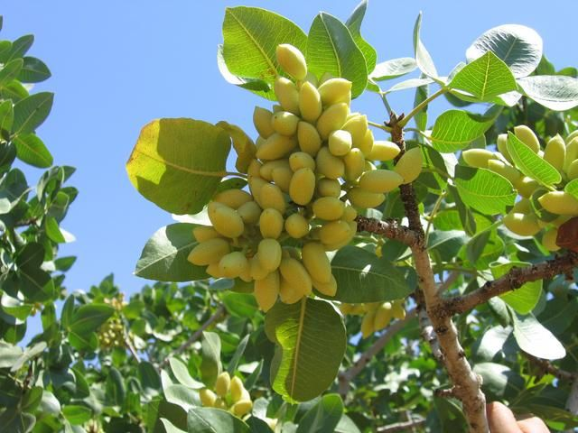Pistachio Tree.  We never think about how the things we love to eat actually grow, this is very interesting to see.