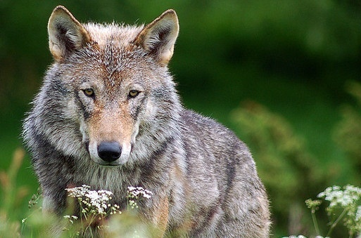 save wolves in : To stop illegal  hunting of wolves in Norway