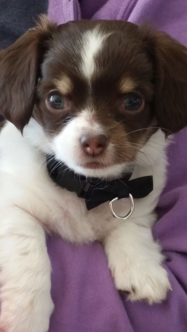 26065 best Chihuahua images on Pinterest   Chihuahua dogs, Chihuahua ...