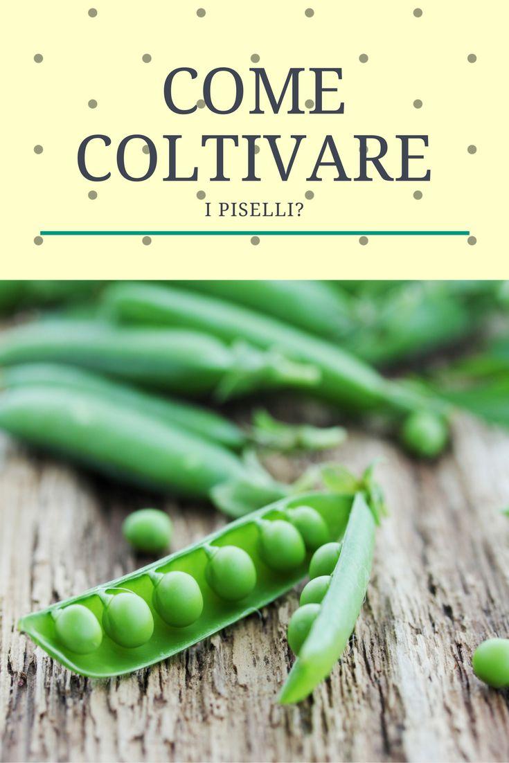 Come coltivare i piselli? #peas #piselli #orto #green #giardinaggio #ortaggi #novembre