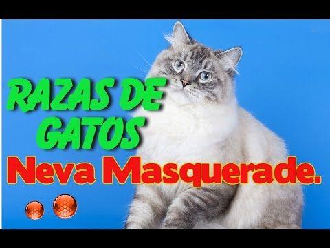 Gatos Neva Masquerade - Caracteristicas del Gato Neva Masquerade - YouTube
