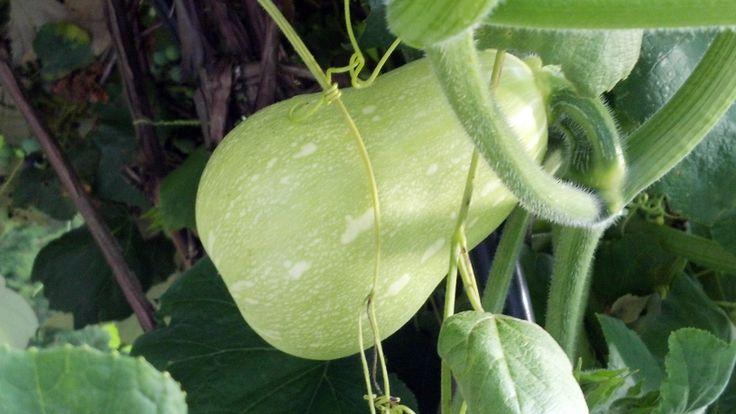 August 21, 2013 Butternut Squash on the grape arbor.