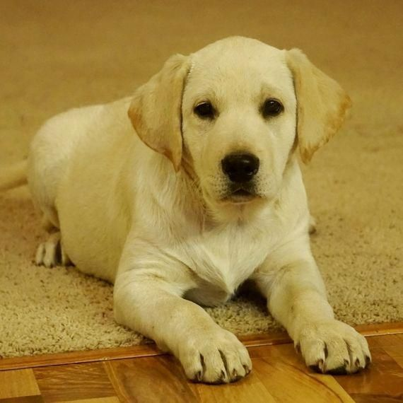 Labrador Retriever Intelligent And Fun Loving Labrador