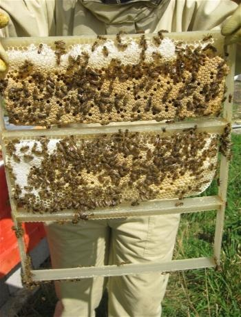 We have a Beekeeping and Honey marquee run by West Dorset Beekeepers Association.  Visit their marquee to learn more about keeping bees and the products that are made using their wax.  There will also be a 'live hive' display during the day!