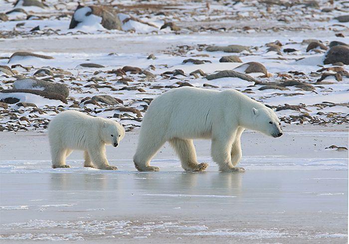 polar-bears-pair-walking-to-the-right