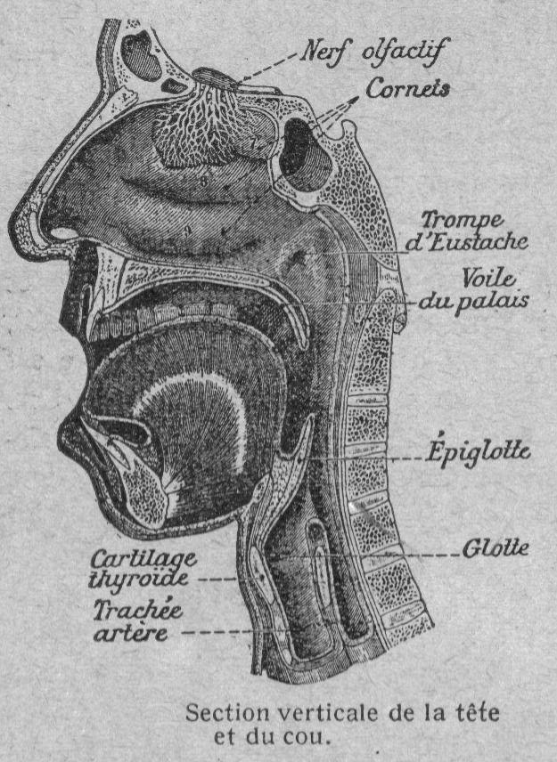 Dessins anatomie-physiologie : Image (120) - Section verticale de la tete et du cou chez l Homme.jpg