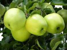 Ginger Gold Apple.  Use Suncrisp as pollinator. 5-6 Dwarf