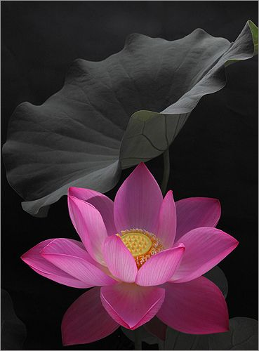 Lotus flower and leaf