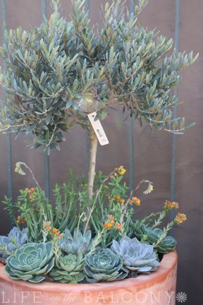 olive tree with succulent underplantings
