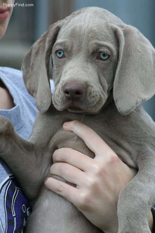 beautiful weimaraner puppy! I wish my babies could have stayed puppies a little longer