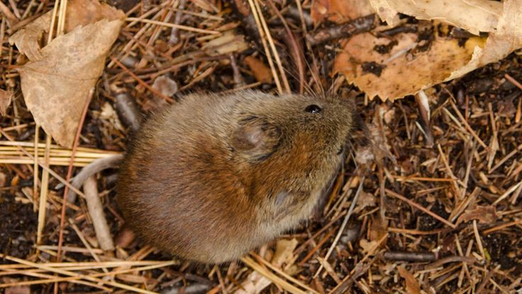 Using data from a 33-year population study, University of Maine researchers have found evidence that various tree species can affect rodent populations in different ways.
