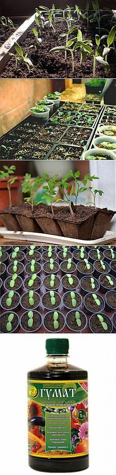Основные правила выращивания здоровой рассады