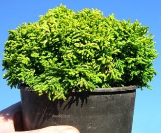 Golden Sprite Dwarf Hinoki Cypress grows SLOOOWLY into a tiny tree - PERFECT for the miniature garden or the fairy garden. GREAT for containers or in-ground gardens too. Colors change in the winter! Click in to see the photos!