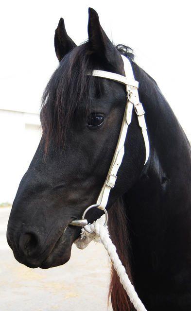 Friesian Stallion - named 'Trekker'
