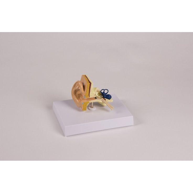 E20 - OREILLE TAILLE RÉELLE Ce modèle montre l'oreille externe moyenne et interne en taille réelle. Fabricant : Erler Zimmer