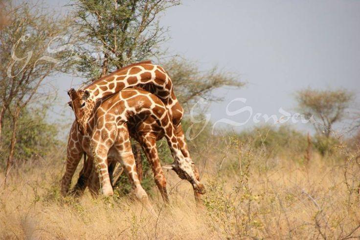 KENYA AFRICA. RESPETEMOS A LAS ESPECIES Y SUS ESPACIOS
